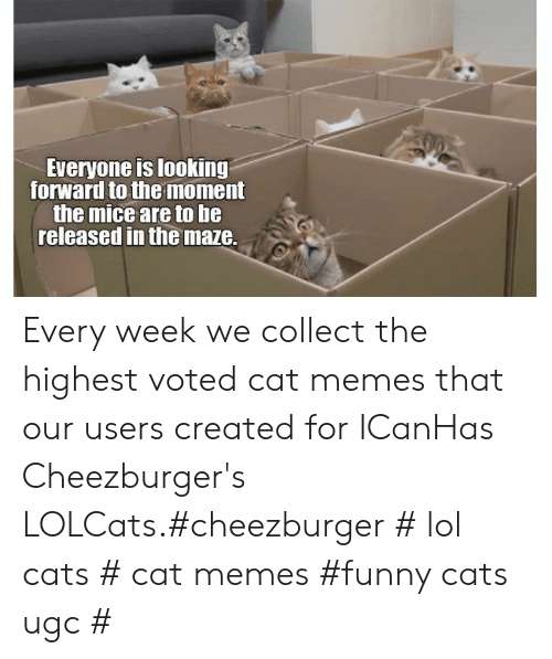 maze: Everyone is looking  forward to the moment  the mice are to he  released in the maze. Every week we collect the highest voted cat memes that our users created for ICanHas Cheezburger's LOLCats.#cheezburger # lol cats # cat memes #funny cats  ugc #