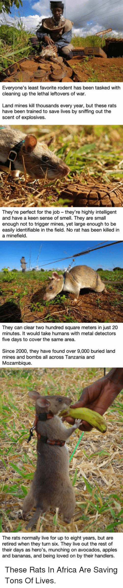 metal detectors: Everyone's least favorite rodent has been tasked with  cleaning up the lethal leftovers of war.  Land mines kill thousands every year, but these rats  have been trained to save lives by sniffing out the  scent of explosives.  They're perfect for the job - they're highly intelligent  and have a keen sense of smell. They are small  enough not to trigger mines, yet large enough to be  easily identifiable in the field. No rat has been killed in  a minefield  They can clear two hundred square meters in just 20  minutes. It would take humans with metal detectors  five days to cover the same area.  Since 2000, they have found over 9,000 buried land  mines and bombs all across Tanzania and  Mozambique.  their days an they turn six n to eight  and bananas, and being loved on by their handlers  The rats normally live for up to eight years, but are  retired when they turn six. They live out the rest of  their days as hero's, munching on avocados, apples  retired when hero',mon by their  rest of <p>These Rats In Africa Are Saving Tons Of Lives.</p>