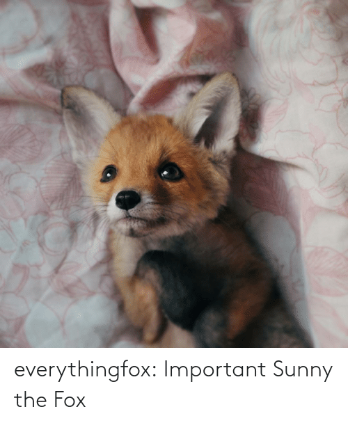 The Fox: everythingfox: Important Sunny the Fox