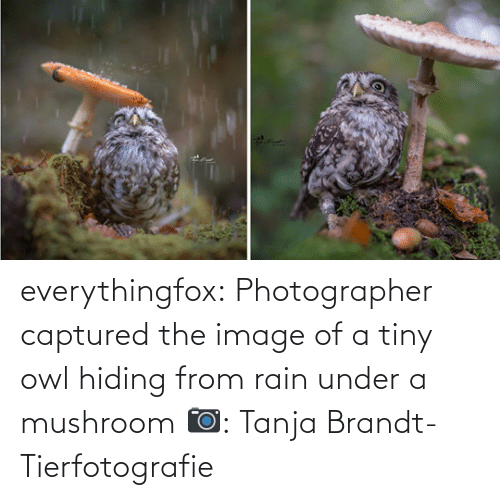 Rain: everythingfox:   Photographer captured the image of a tiny owl hiding from rain under a mushroom   📷:  Tanja Brandt-Tierfotografie
