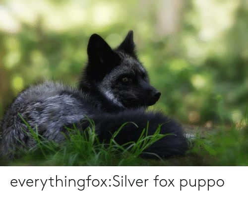 Silver: everythingfox:Silver fox puppo