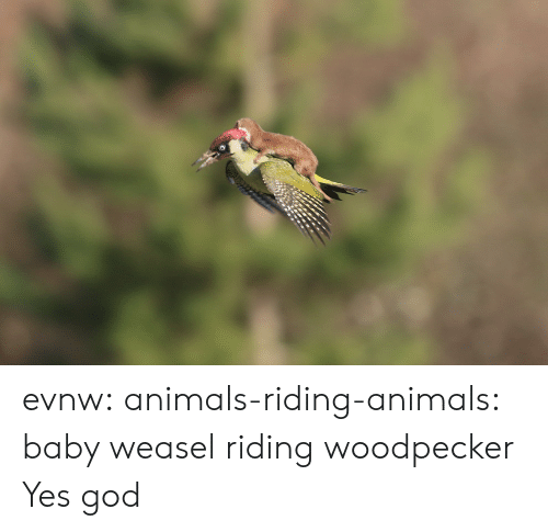 woodpecker: evnw: animals-riding-animals:  baby weasel riding woodpecker  Yes god