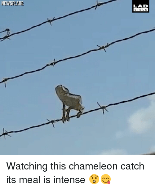Chameleon: EWSFLARE  LAD  BIBL E Watching this chameleon catch its meal is intense 😲😋