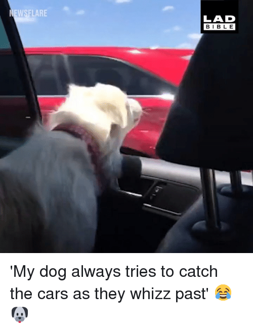 the cars: EWSFLARE  LAD  BIBLE 'My dog always tries to catch the cars as they whizz past' 😂🐶