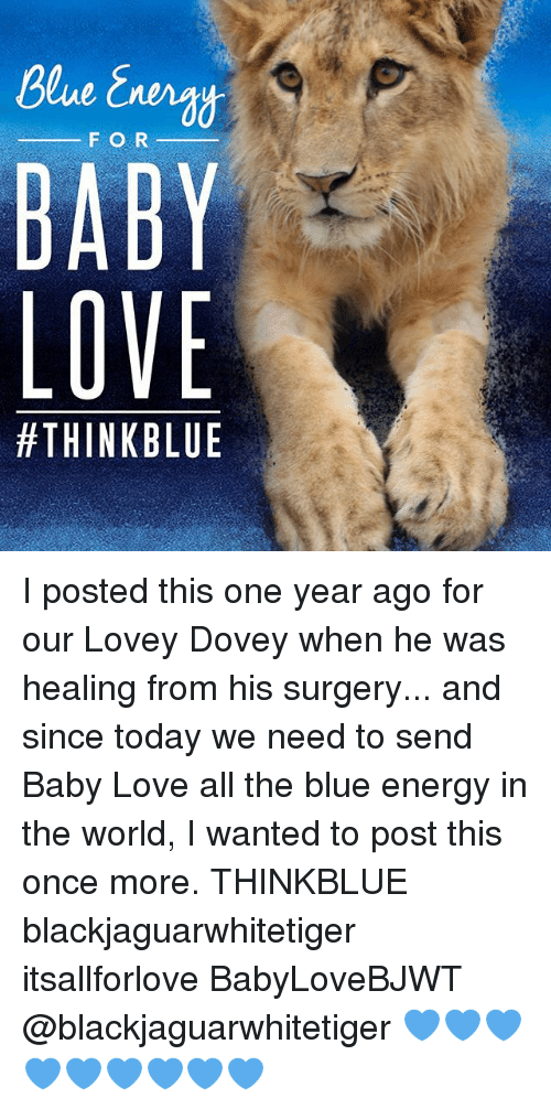 baby love: F O R  BABY  LOVE  I posted this one year ago for our Lovey Dovey when he was healing from his surgery... and since today we need to send Baby Love all the blue energy in the world, I wanted to post this once more. THINKBLUE blackjaguarwhitetiger itsallforlove BabyLoveBJWT @blackjaguarwhitetiger 💙💙💙💙💙💙💙💙💙