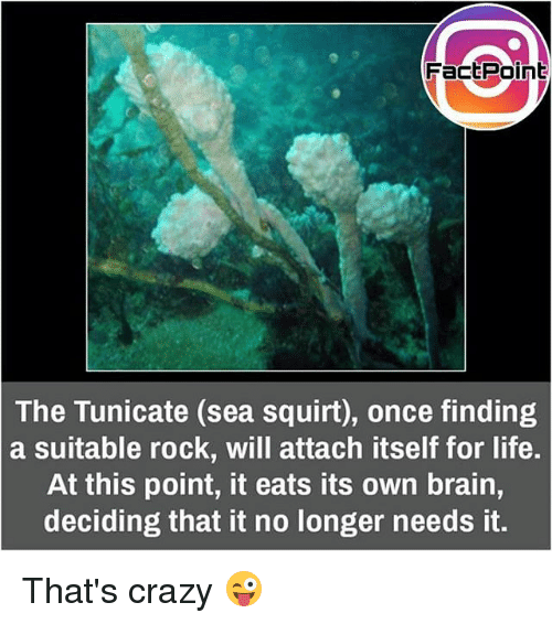 Squirtly: FacEPoint  The Tunicate (sea squirt), once finding  a suitable rock, will attach itself for life.  At this point, it eats its own brain,  deciding that it no longer needs it. That's crazy 😜