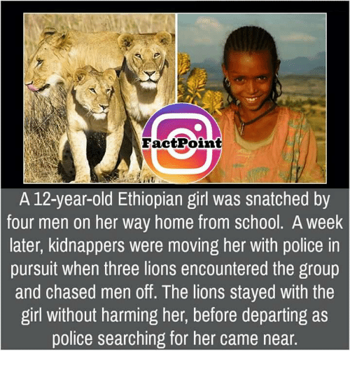 Ethiopians: Fact Point  A 12-year-old Ethiopian girl was snatched by  four men on her way home from school. A Week  later, kidnappers were moving her with police in  pursuit when three lions encountered the group  and chased men off. The lions stayed with the  girl without harming her, before departing as  police searching for her came near.