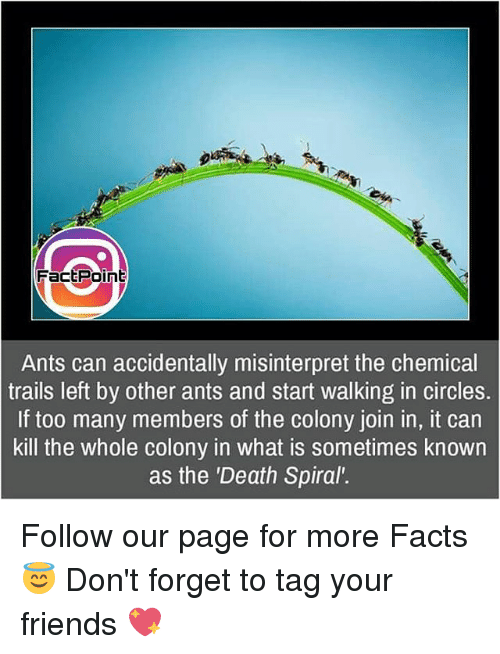 "spirals: Fact Point  Ants can accidentally misinterpret the chemical  trails left by other ants and start walking in circles.  If too many members of the colony join in, it can  kill the whole colony in what is sometimes known  as the ""Death Spiral"". Follow our page for more Facts 😇 Don't forget to tag your friends 💖"