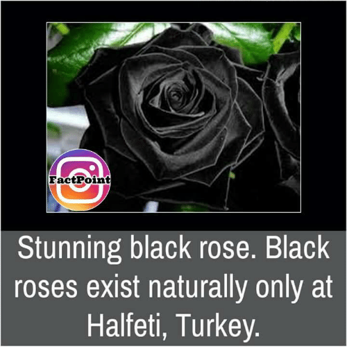 memes: Fact Point  Stunning black rose. Black  roses exist naturally only at  Halfeti, Turkey