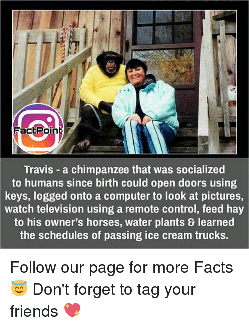 Facts, Friends, and Horses: Fact Point  Travis a chimpanzee that was socialized  to humans since birth could open doors using  keys, logged onto a computer to look at pictures,  watch television using a remote control, feed hay  to his owner's horses, water plants learned  the schedules of passing ice cream trucks. Follow our page for more Facts 😇 Don't forget to tag your friends 💖