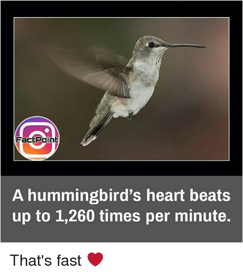 Memes, Beats, and Heart: FactPoint  A hummingbird's heart beats  up to 1,260 times per minute. That's fast ❤