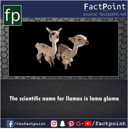 llamas: FactPoint  source: factpoint.net  p.  The scientific name for llamas is lama glama  /thefactpoint O  /factpoint