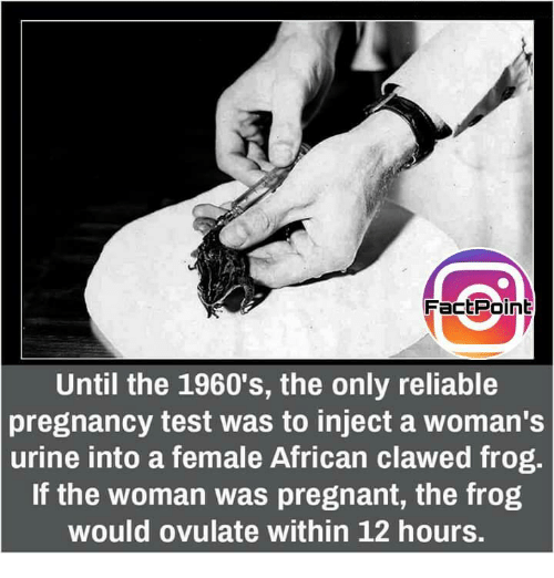 Memes, Pregnant, and Pregnancy: FactPoint  Until the 1960's, the only reliable  pregnancy test was to inject a woman's  urine into a female African clawed frog.  If the woman was pregnant, the frog  would ovulate within 12 hours.