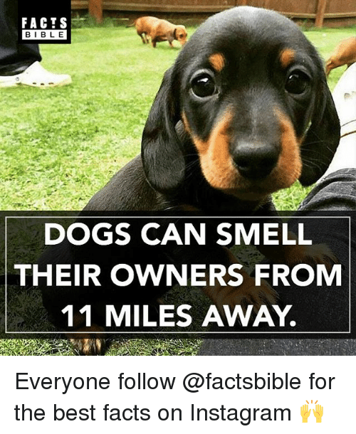 Dogs, Facts, and Instagram: FACTS  BIBLE  DOGS CAN SMELL  THEIR OWNERS FROM  11 MILES AWAY. Everyone follow @factsbible for the best facts on Instagram 🙌