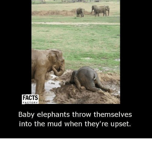 Baby Elephants: FACTS  FACTORY  Baby elephants throw themselves  into the mud when they're upset.