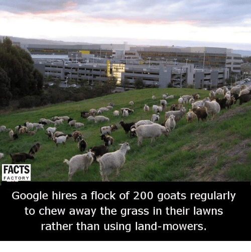 factorial: FACTS  FACTORY  Google hires a flock of 200 goats regularly  to chew away the grass in their lawns  rather than using land-mowers.
