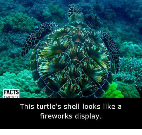 factorial: FACTS  FACTORY  This turtle's shell looks like a  fireworks display.