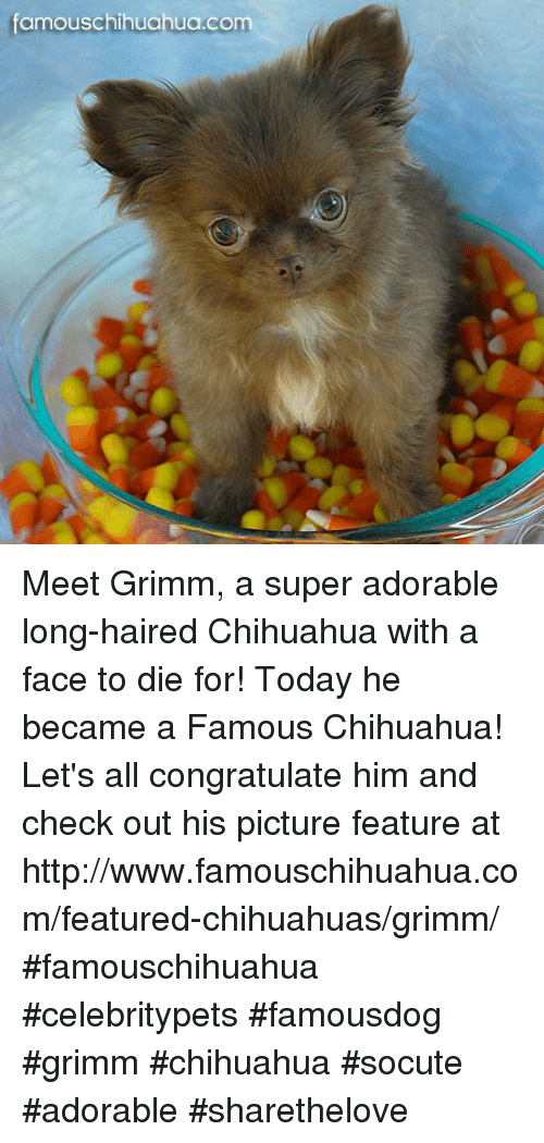 grimm: famous Chihuahua.com Meet Grimm, a super adorable long-haired Chihuahua with a face  to die for! Today he became a Famous Chihuahua! Let's all congratulate him and check out his picture feature at http://www.famouschihuahua.com/featured-chihuahuas/grimm/ #famouschihuahua #celebritypets #famousdog #grimm #chihuahua #socute #adorable #sharethelove