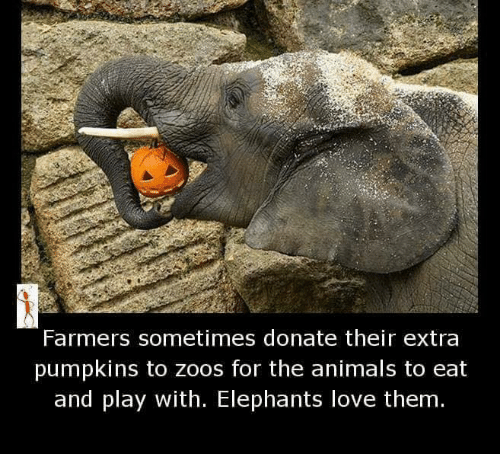 Donat: Farmers sometimes donate their extra  pumpkins to Zoos for the animals to eat  and play with. Elephants love them.