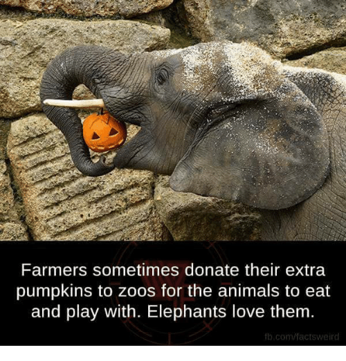 Donat: Farmers sometimes donate their extra  pumpkins to Zoos for the animals to eat  and play with. Elephants love them.  fb.com/factsweird