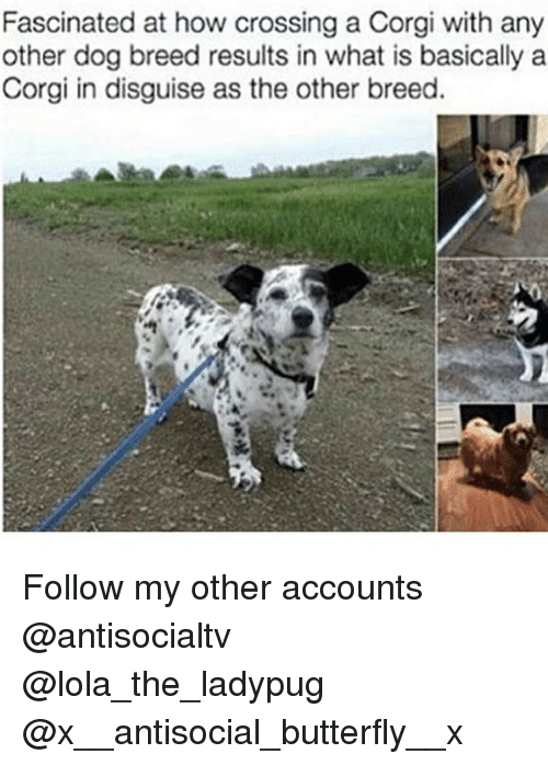 Corgi, Memes, and Butterfly: Fascinated at how crossing a Corgi with any  other dog breed results in what is basically a  Corgi in disguise as the other breed. Follow my other accounts @antisocialtv @lola_the_ladypug @x__antisocial_butterfly__x