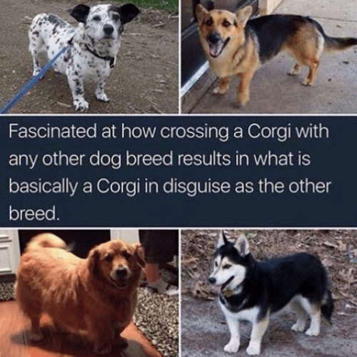 corgi: Fascinated at how crossing a Corgi with  any other dog breed results in what is  basically a Corgi in disguise as the other  breed