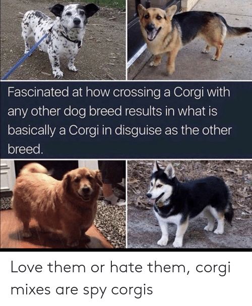 corgi: Fascinated at how crossing a Corgi with  any other dog breed results in what is  basically a Corgi in disguise as the other  breed. Love them or hate them, corgi mixes are spy corgis