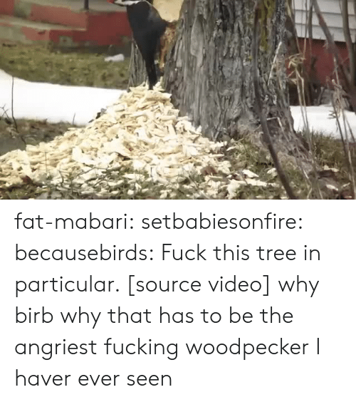 woodpecker: fat-mabari:  setbabiesonfire:  becausebirds:  Fuck this tree in particular. [source video]  why birb why  that has to be the angriest fucking woodpecker I haver ever seen