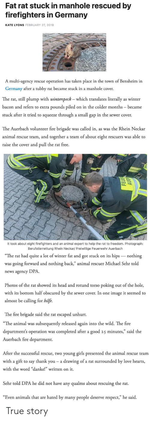 """sewer: Fat rat stuck in manhole rescued by  firefighters in Germany  KATE LYONS FEBRUARY 27, 2019  A multi-agency rescue operation has taken place in the town of Bensheim in  Germany after a tubby rat became stuck in a manhole cover.   The rat, still plump with winterspeck - which translates literally as winter  bacon and refers to extra pounds piled on in the colder months became  stuck after it tried to squeeze through a small gap in the sewer cover.  The Auerbach volunteer fire brigade was called in, as was the Rhein Neckar  animal rescue team, and together a team of about eight rescuers was able to  raise the cover and pull the rat free.   It took about eight firefighters and an animal expert to help the rat to freedom. Photograph:  Berufstierrettung Rhein Neckar/ Freiwillige Feuerwehr Auerbach   The  rat  had  quite  a  lot  of  winter  fat  and  got  stuck  on  its  hips  _nothing  was going forward and nothing back,"""" animal rescuer Michael Sehr told  news agency DPA  Photos of the rat showed its head and rotund torso poking out of the hole,  with its bottom half obscured by the sewer cover. In one image it seemed to  almost be calling for hilfe.  The fire brigade said the rat escaped unhurt.   """"The animal was subsequently released again into the wild. The fire  department's operation was completed after a good 25 minutes,"""" said the  Auerbach fire department.  After the successful rescue, two young girls presented the animal rescue teanm  with a gift to say thank you- a drawing of a rat surrounded by love hearts  with the word """"danke!"""" written on it.  Sehr told DPA he did not have any qualms about rescuing the rat.  """"Even animals that are hated by many people deserve respect,"""" he said. True story"""