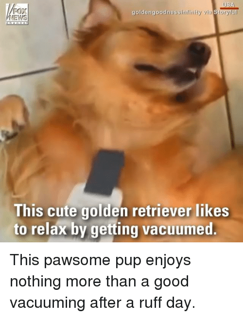 Cute, Memes, and News: Fax  NEWS  goldengoodnessinfinity via Storyful  This cute golden retriever likes  to relax by getting vacuumed This pawsome pup enjoys nothing more than a good vacuuming after a ruff day.