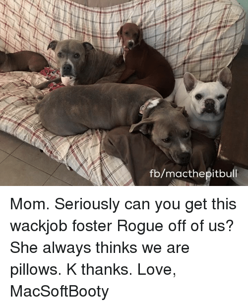 Love, Memes, and Moms: fb/macthepitbull Mom. Seriously can you get this wackjob foster Rogue off of us? She always thinks we are pillows. K thanks.   Love, MacSoftBooty
