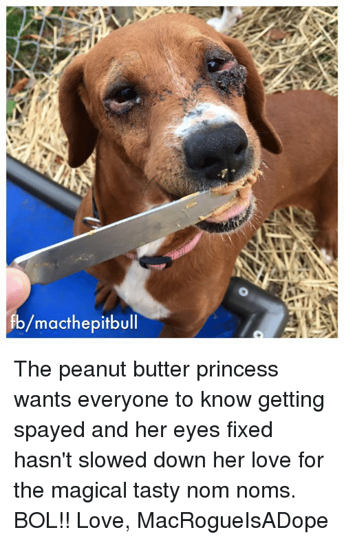 nom noms: fb/macthepitbull The peanut butter princess wants everyone to know getting spayed and her eyes fixed hasn't slowed down her love for the magical tasty nom noms.  BOL!!   Love, MacRogueIsADope