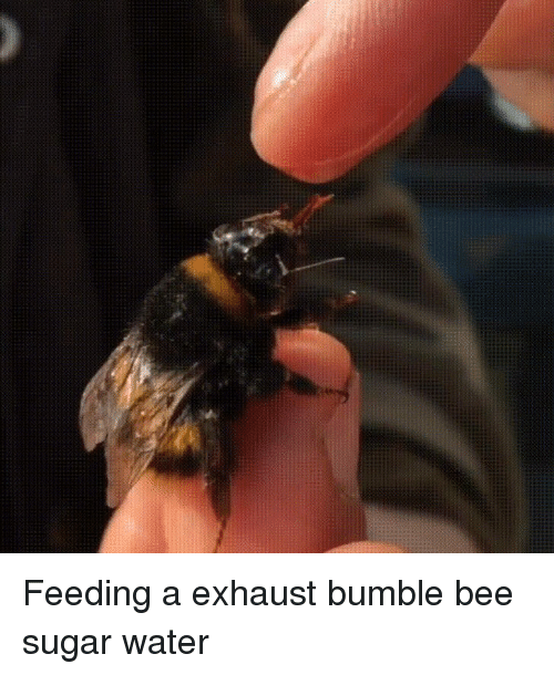 Sugar, Water, and Bumble: Feeding a exhaust bumble bee sugar water