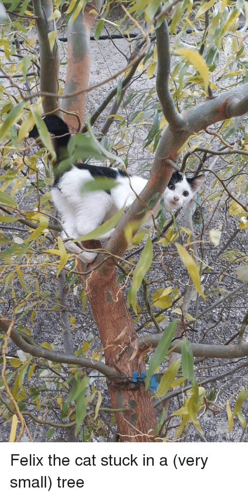 Tree, Cat, and Felix the Cat: Felix the cat stuck in a (very small) tree
