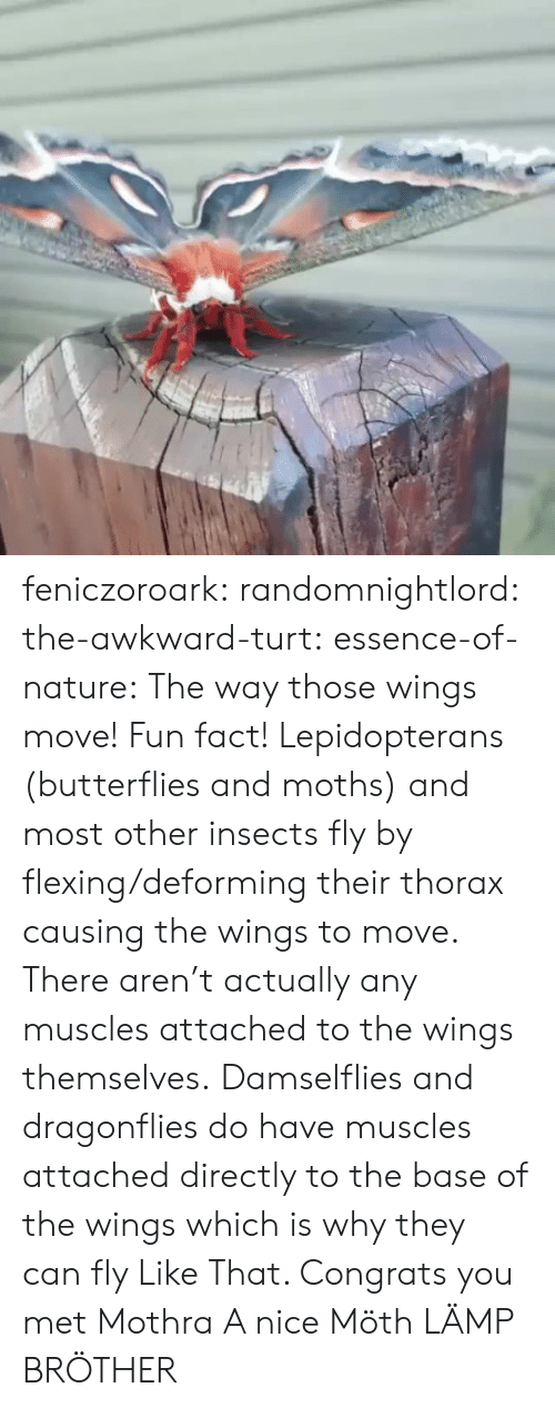 fun fact: feniczoroark:  randomnightlord:  the-awkward-turt: essence-of-nature:   The way those wings move!    Fun fact! Lepidopterans (butterflies and moths) and most other insects fly by flexing/deforming their thorax causing the wings to move. There aren't actually any muscles attached to the wings themselves. Damselflies and dragonflies do have muscles attached directly to the base of the wings which is why they can fly Like That.    Congrats you met Mothra  A nice Möth  LÄMP BRÖTHER