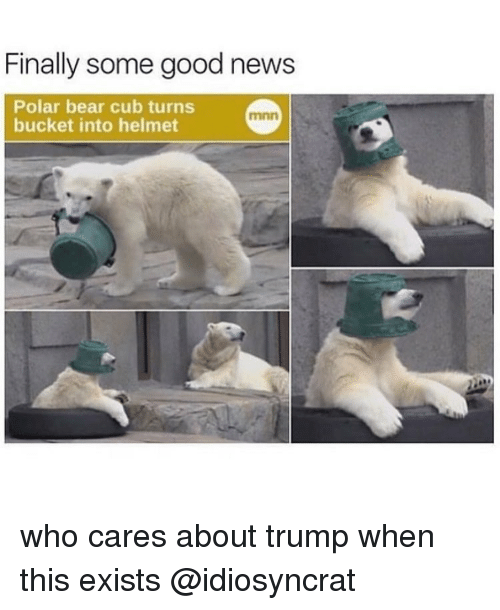 Memes, 🤖, and Polar Bear: Finally some good news  Polar bear cub turns  bucket into helmet who cares about trump when this exists @idiosyncrat