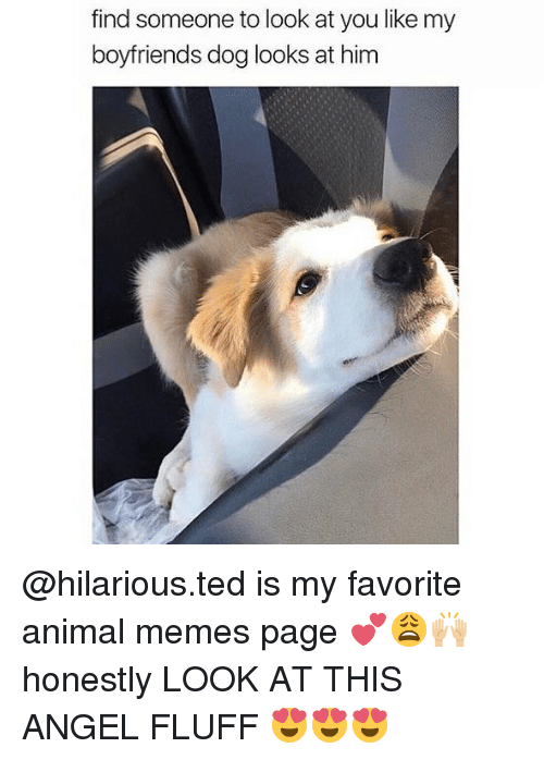 Memes, Ted, and Angel: find someone to look at you like my  boyfriends dog looks at him @hilarious.ted is my favorite animal memes page 💕😩🙌🏼 honestly LOOK AT THIS ANGEL FLUFF 😍😍😍