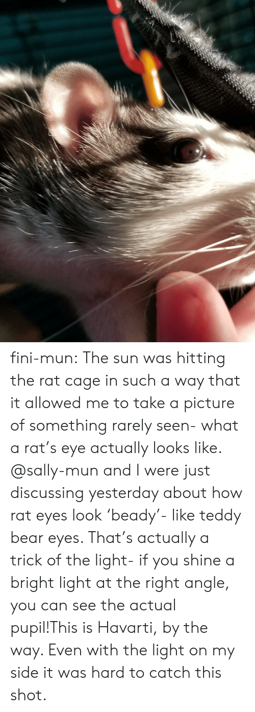Pupil: fini-mun:  The sun was hitting the rat cage in such a way that it allowed me to take a picture of something rarely seen- what a rat's eye actually looks like. @sally-mun and I were just discussing yesterday about how rat eyes look 'beady'- like teddy bear eyes. That's actually a trick of the light- if you shine a bright light at the right angle, you can see the actual pupil!This is Havarti, by the way. Even with the light on my side it was hard to catch this shot.