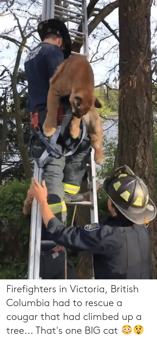 victoria: Firefighters in Victoria, British Columbia had to rescue a cougar that had climbed up a tree... That's one BIG cat 😳😲