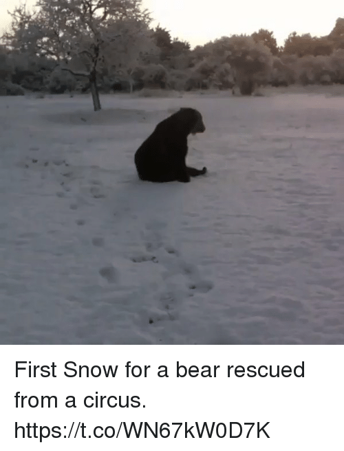 Memes, Bear, and Snow: First Snow for a bear rescued from a circus. https://t.co/WN67kW0D7K