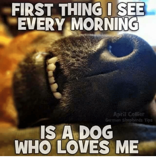 Memes, German Shepherd, and Germanic: FIRST THING I SEE  MORNING  EVERY April Collier  German shepherds Tips  IS A DOG  WHO LOVES ME