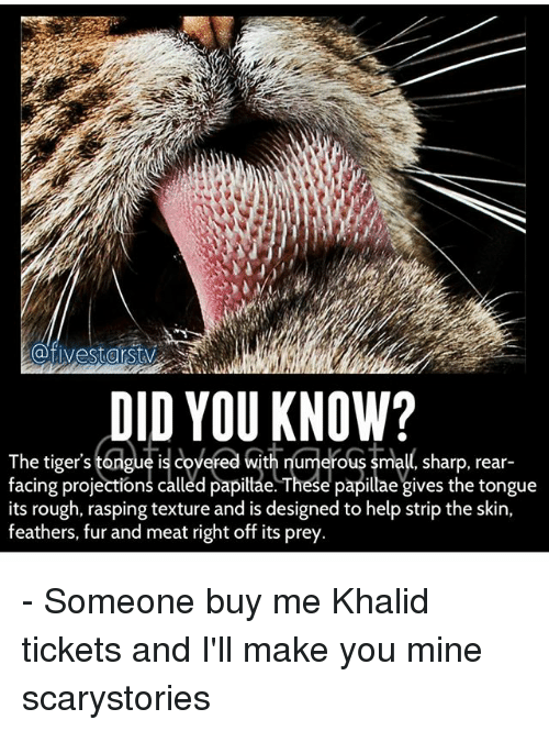 Memes, Help, and Tigers: @fivestarstv  DID YOU KNOW?  The tiger's tongue is coye  facing projections called papittae. These papillae gives the tongue  its rough, rasping texture and is designed to help strip the skin,  feathers, fur and meat right off its prey  red with numerous small, sharp, rear-  ed with numerous small sharp. rear- - Someone buy me Khalid tickets and I'll make you mine scarystories