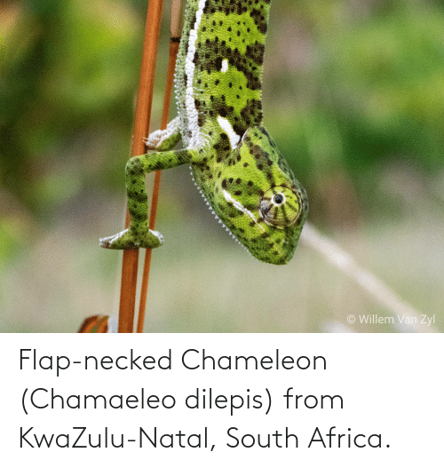 flap: Flap-necked Chameleon (Chamaeleo dilepis) from KwaZulu-Natal, South Africa.