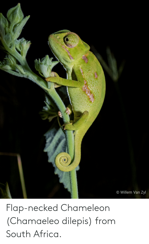flap: Flap-necked Chameleon (Chamaeleo dilepis) from South Africa.