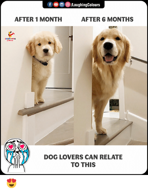 dog lovers: fLaughingColours  AFTER 1 MONTH  AFTER 6 MONTHS  DOG LOVERS CAN RELATE  TO THIS 😍