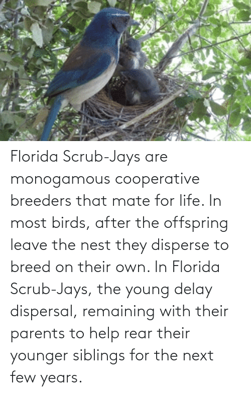 Jays: Florida Scrub-Jays are monogamous cooperative breeders that mate for life. In most birds, after the offspring leave the nest they disperse to breed on their own. In Florida Scrub-Jays, the young delay dispersal, remaining with their parents to help rear their younger siblings for the next few years.