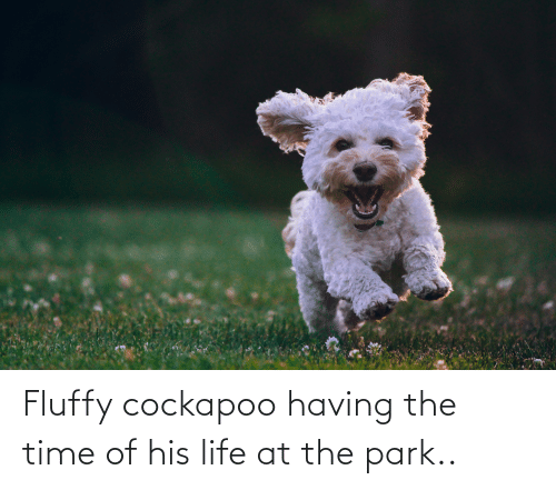 fluffy: Fluffy cockapoo having the time of his life at the park..