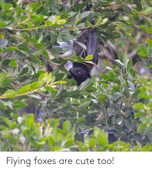 foxes: Flying foxes are cute too!