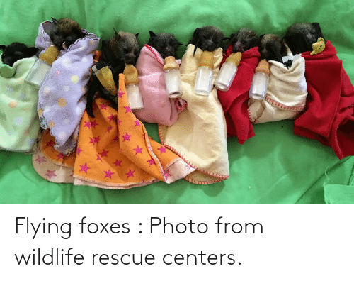 foxes: Flying foxes : Photo from wildlife rescue centers.