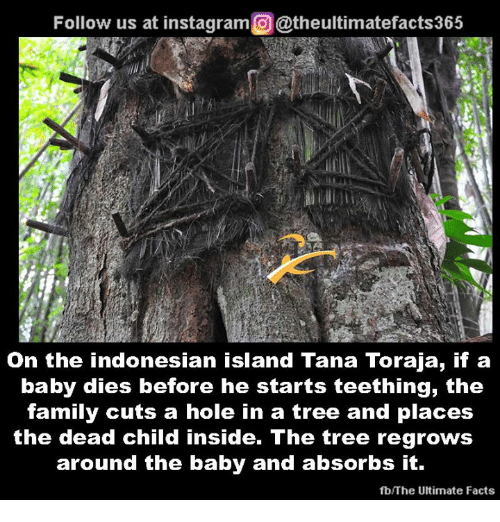 Facts, Family, and Instagram: Follow us at instagram@theultimatefacts365  On the indonesian island Tana Toraja, if a  baby dies before he starts teething, the  family cuts a hole in a tree and places  the dead child inside. The tree regrows  around the baby and absorbs It.  fb/The Utimate Facts